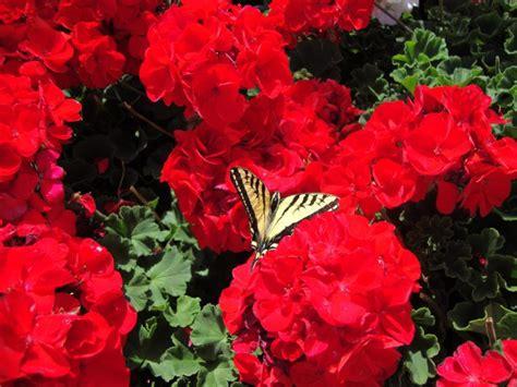 annual plant annual flowers savingourboys info