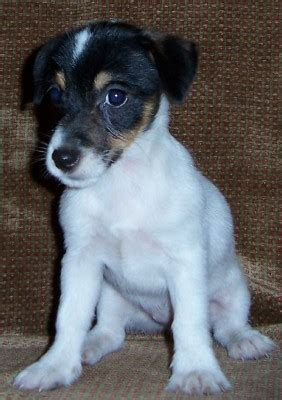 jack russell terrier  white  blackjpg