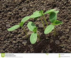 Cucumber seedlings stock photo. Image of floral, farmland ...