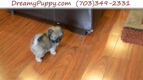 super cute teacup pomchi female puppy youtube