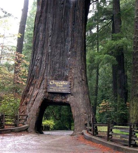 chandelier drive through tree tower memorial trees picture of chandelier drive