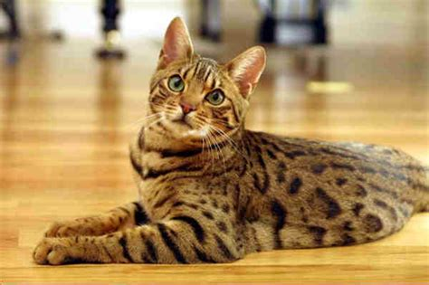 bengal cat images pet advice ideas guides 187 archive 187 bengal cats