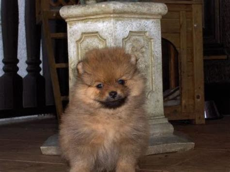 zwergspitz pomeranian mini welpe teddy hund  grimma