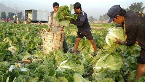 workers harvest crops  lima peru organic farming