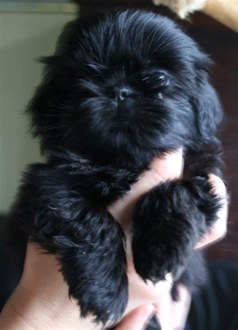 Chanel Sweet Shihtzu Puppy Beautiful Never Seen