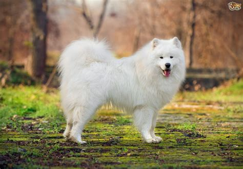 samoyed dog hereditary health and health testing pets4homes