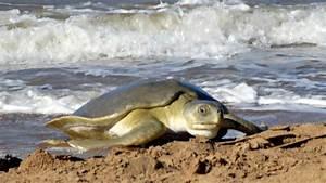 Flatback Sea Turtle (Natator depressus)