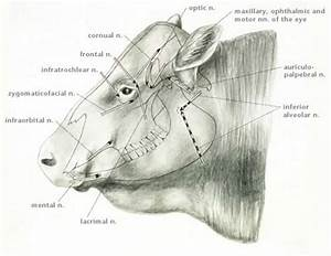 Image  Cranial Nerves For Nerve Block  Cow