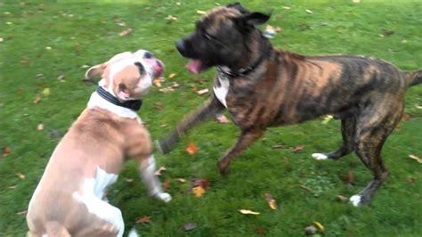 american bulldog attack nena  tiger youtube