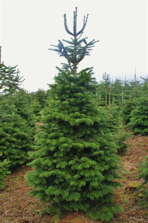 our trees dartmoor christmas trees