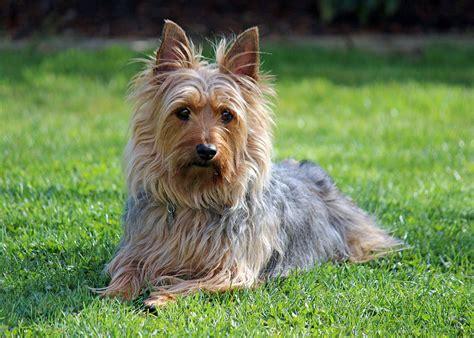 File Australian Silky Terrier Zack Spring  Jpg