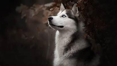 Husky Dog Wallpapers Siberian 4k Breed Siberiano