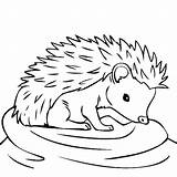 Hedgehog Coloring Pages Hedgehogs Drawing Sheets Line Colors Colouring Thirsty Yahoo Boy Results Animals Getdrawings Frozen Animal Feeling sketch template