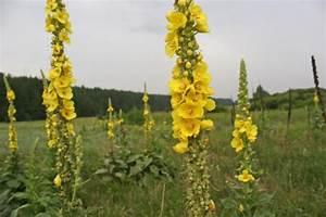Трава филейник при геморрое