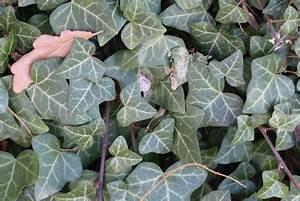 Kletterpflanzen Winterhart Immergrün Schnellwachsend : winterharte schnellwachsende kletterpflanzen 20 sorten ~ Yasmunasinghe.com Haus und Dekorationen