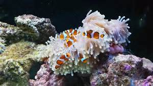 l incroyable relation entre le poisson clown et l an 233 des mers