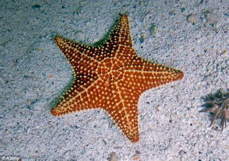 The mystery disease causing America's starfish to EXPLODE