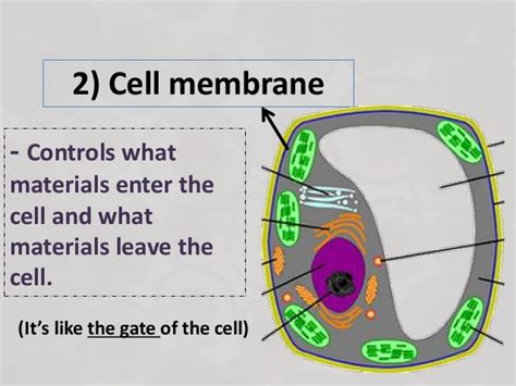 Nucleus Cell Membrane And Cytoplasm Picture