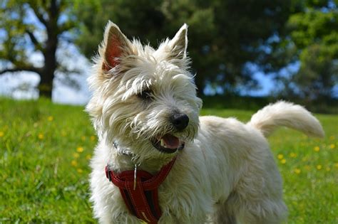 what does cairn bye bye rats the 7 best homestead dogs for vermin control off the grid news