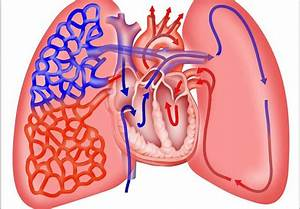Lungs  Heart And Respiration Images