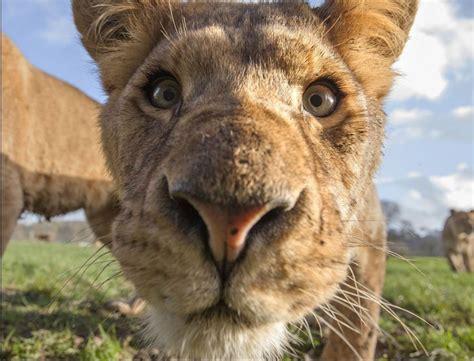 Fotogrāfs uzņem bildes ar dzīvnieku purniem, kuras ...