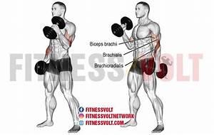 Dumbbell Hammer Curl  Biceps  Brachialis And Brachioradialis
