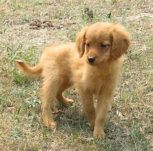 Toy Golden Puppies