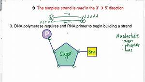 Dna Replication  Summary Steps And Parts Of A Nucleotide