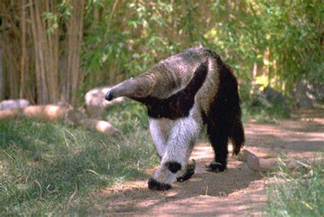 Anteater Meme - anteater