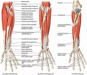 Muscles of the Forearm That Move the Wrist, Hand, Thumb ...