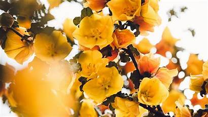 Yellow Branch Flowers Bush Background Blooms Plant