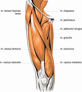 Anatomy Thigh Muscles  Medical  Anatomy  Muscle  Anatomy