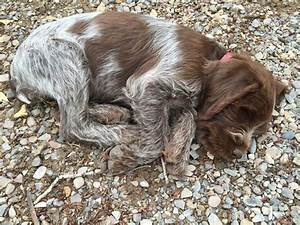 Wirehaired Pointing Griffon ~ Classic Look ~ Glendale ...
