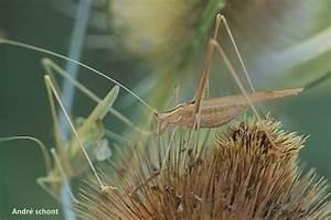 Feuille De Lys : insectes de la provence sauterelles ~ Nature-et-papiers.com Idées de Décoration