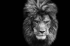 Stunning Black And White Portrait Of Barbary Lion On Black ...