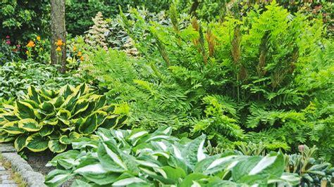 Farn Im Garten. Farn Im Garten Richtig Pflanzen Und