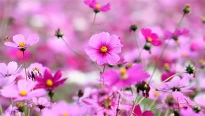 Desktop Pink Flowers Cosmos Wallpapers Wallpapers13 Resolution