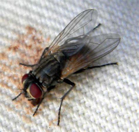 flies in my house house flies in the sonoran desert