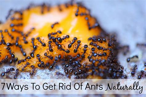 getting rid of ants 7 ways to get rid of ants naturally