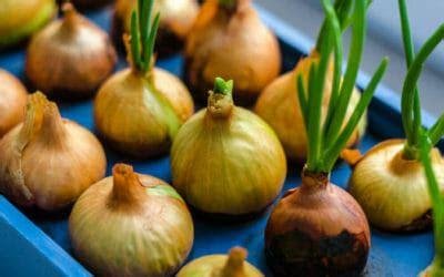 coltivare cipolla in vaso come coltivare le cipolle in vaso e in orto la guida