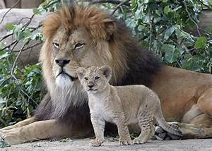 Animal Qui Commence Par U : rare barbary lion cub stands tall next to its father picture cutest baby animals from around ~ Medecine-chirurgie-esthetiques.com Avis de Voitures