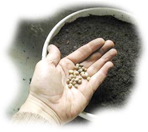 semis pr 233 coce des capucines