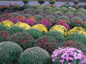 Perennial Mums Plants