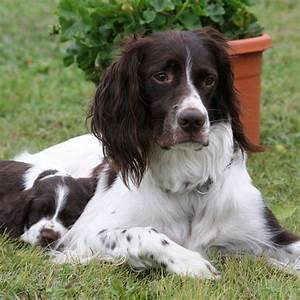 French Spaniel Breed Guide - Learn about the French Spaniel.  French