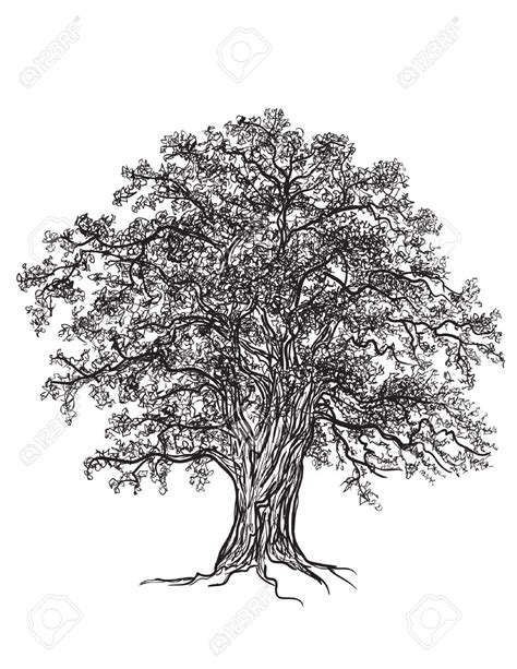 oak tree clipart black and white oak tree drawing clip 77