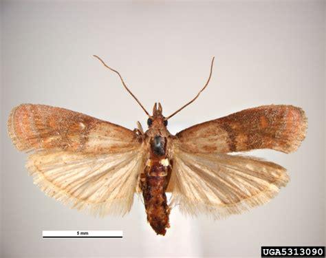Indian Pantry Moth Got Pests
