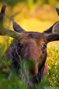 Moose at Brainard Lake Colorado