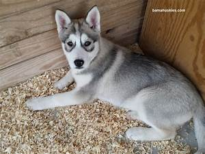 wolf grey husky puppy female – Siberian Husky Puppies For Sale