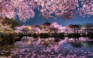 Télécharger fonds d'écran fleur de cerisier de soirée de