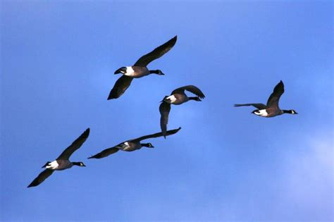 do birds fly at why do geese fly in the shape of a v vermont public radio
